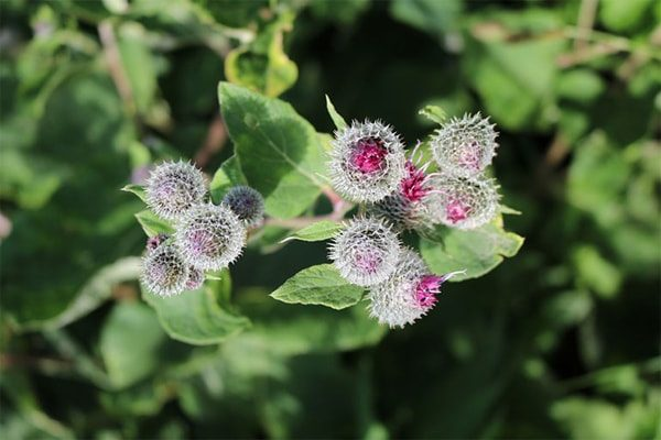 Burdock for Cradle Cap